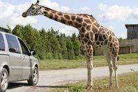 879538_giraffe